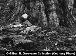 """Gilbert H. Grosvenor, redaktori i parë i revistës """"National Geographic"""", zgjohet nga gjumi pas një nate që e kishte kaluar nën strehën e drurit që shihet në fotografi, në vitin 1915."""