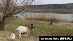 Animale la păscut pe malul Nistrului la Rezina