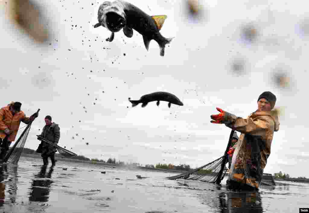 A fishermen throws fish during a haul at a fish farm near the village of Borova Zhytkavichy in Belarus's Homel region. (TASS/Viktar Drachev)