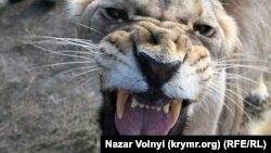 Львица в «Тайгане», Белогорск. Архивное фото