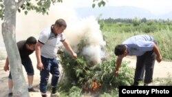 Процесс уничтожения дикорастущей конопли в Баткенской области.