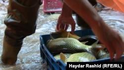 Рівень радіоактивного цезію у рибі не є небезпечним для життя людей, наголошують дослідники