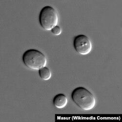 Клетки дрожжей