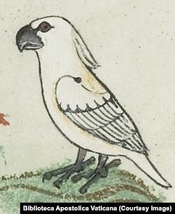 Изображение какаду из манускрипта 13 в.