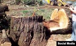Вырубка деревьев в парке Кусково. Июль 2016 года