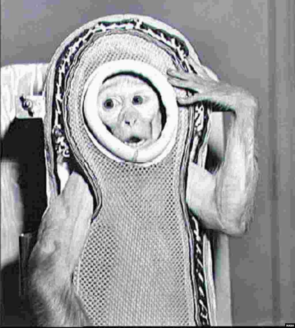 "A rhesus monkey Sam preparing for his flight on the United States' ""Little Joe 2"" in December 1959. The flight reached close to the edge of space and Sam survived the mission."