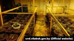 Police in Vitsebsk said they found hundreds of pots with marijuana plants at various stages of growth.