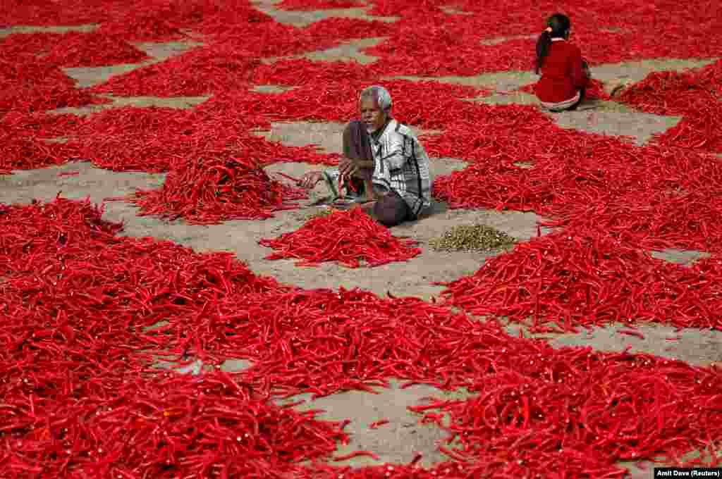 A man removes stalks from red chili peppers at a farm in the village of Shertha on the outskirts of Ahmedabad, India. (Reuters/Amit Dave)