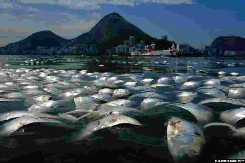 Tens of thousands of dead fish float on the waters of the popular Rodrigo de Freitas lagoon beside the Corcovado Mountain in Rio de Janeiro, Brazil. Officials said recent storms sent large amounts of organic matter into the lagoon, sending oxygen levels critically low. (AFP/Christophe Simon)