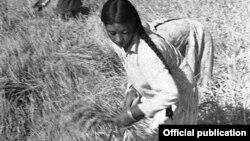 Кант районунун Фрунзе колхозунда күрүчтү жыйноо учуру. 1943-жыл. (Сүрөт борбордук мамлекеттик архивдин кинофотофонодокументтер бөлүмүнөн алынды)