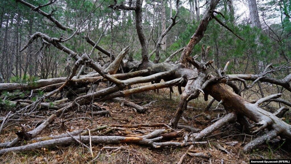 Як пояснюють в державній службі, дерева всихають через зміну клімату