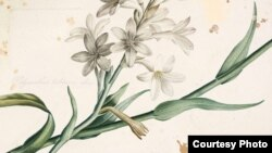 Эти скоротечные цветы – туберозы – в прямом этимологическом родстве с болезнью легких: туберкулез – от латинского «бугорок»