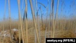Белқопаның қамысы. Ақтөбе облысы, Белқопа ауылы, 19 ақпан 2012 жыл.