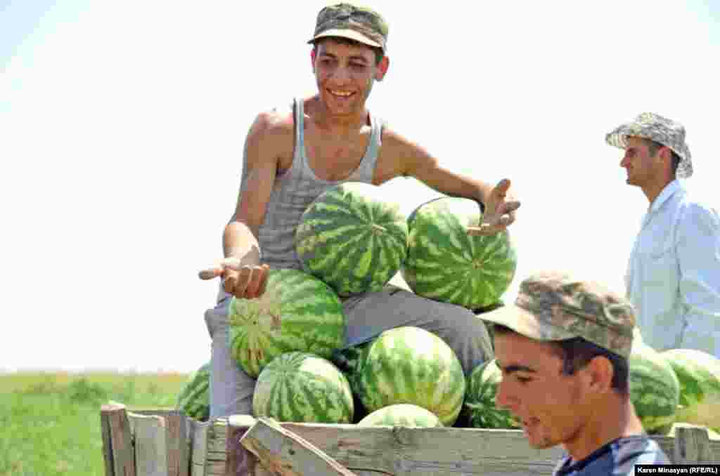 Armenia -- Watermelon harvest in Ararat region, 14Aug2012