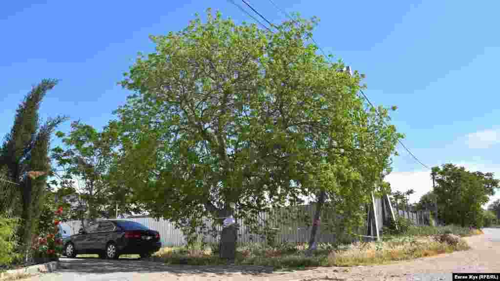 Фисташка, которой 26 лет, находится за территорией стройки. Дерево на всякий случай обмотали лентой и повесели самодельные таблички, информирующие о том, что оно занесено в три Красные книги