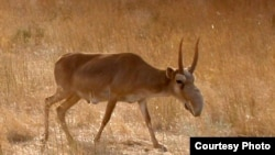Thousands of antelopes have died
