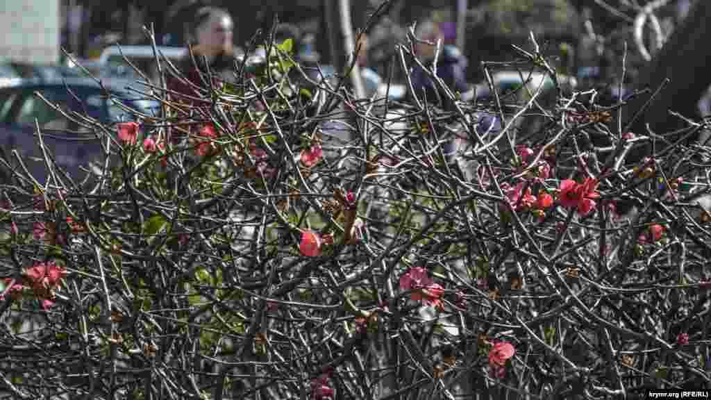 Перший день весни зустрічає своїми першими квітами айва японська, що росте на міських газонах