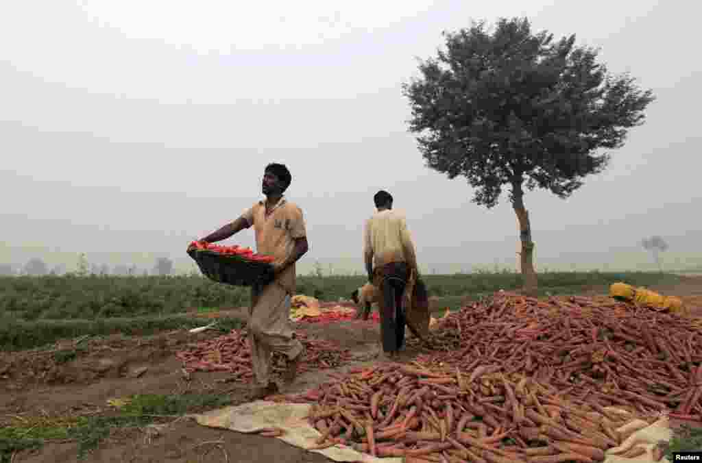Farmers harvest carrots during at a farm on the outskirts of Faisalabad, Pakistan. (Reuters/Fayyaz Hussain)