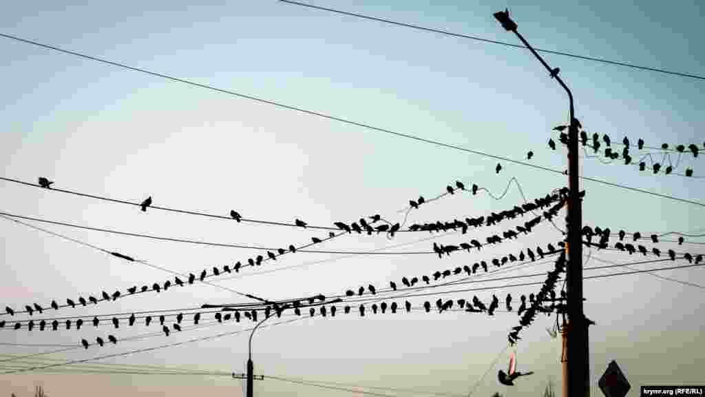 Сотні голубів «облюбували» електропроводи на центральному ринку Сімферополя