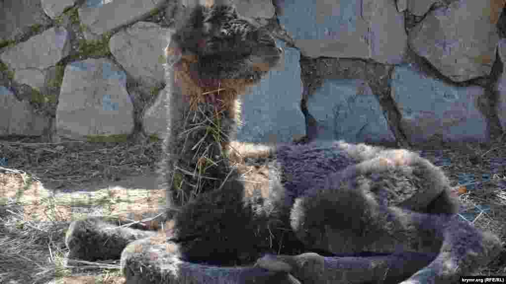 У парку левів «Тайган» у Білогірську народився верблюд, 1 квітня 2017 року