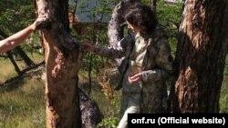 Реликтовые деревья Ольхона, пострадавшие от насекомых