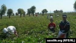 Дети убирают хлопок на полях Таджикистана. Иллюстративное фото.