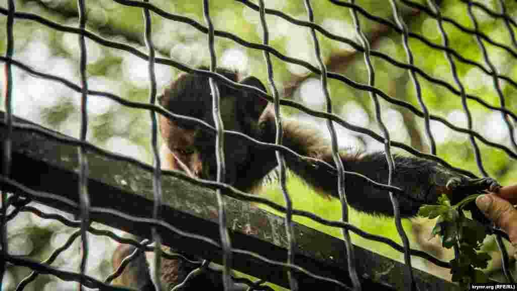 А эта обезьяна скромно берет еду из рук посетителей