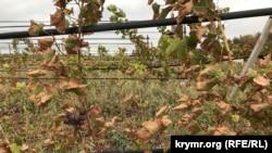 Виноградник в Армянске, пострадавший от токсичных выбросов. 6 сентября 2018 года