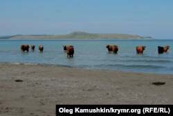 Коровы на крымском пляже