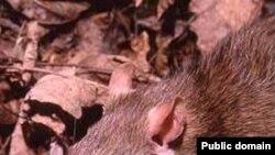Серая крыса, пасюк (Rattus norvegicus) — млекопитающее рода крыс отряда грызунов.
