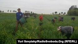 Українські заробітчани, які працюють в аграрному секторі Польщі. Фото 2017 року