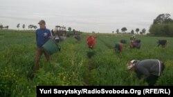 Українські заробітчани, які працюють в аграрному секторі Польщі. Фото 2017 року.