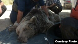 خرس قهوهای نجات داده شده