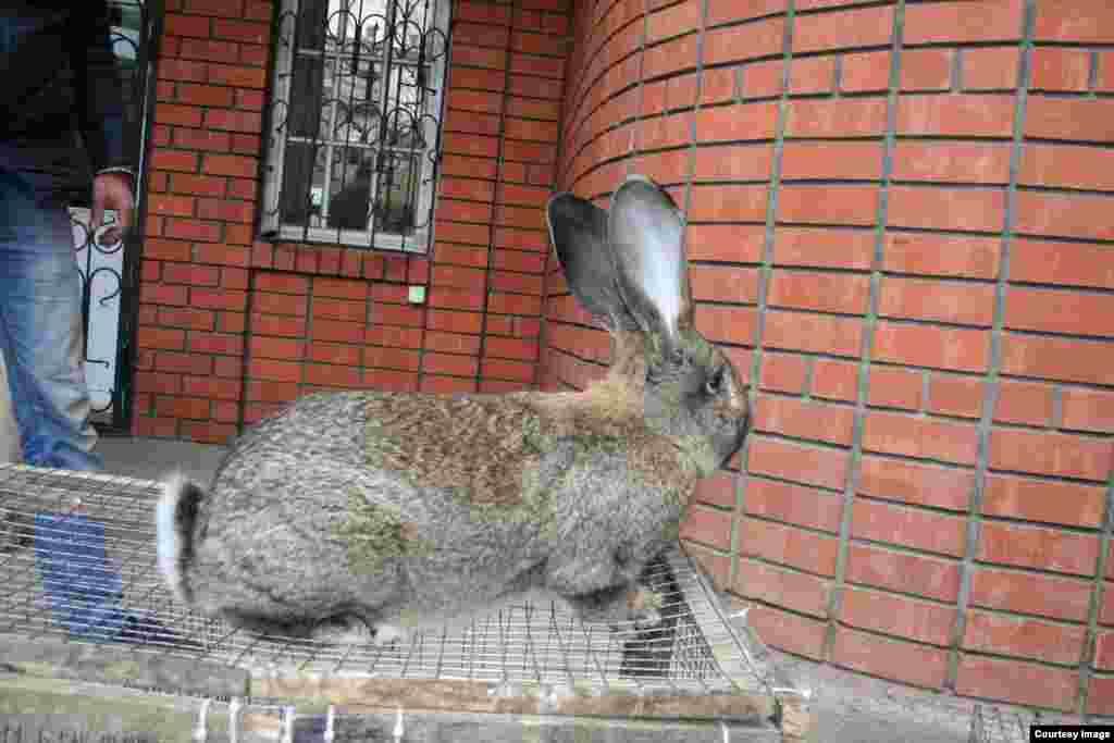 В настоящее время большинство кролиководов приобретают племенное поголовье за пределами Дагестана, хотя и в республике есть немало выставочных кроликов.