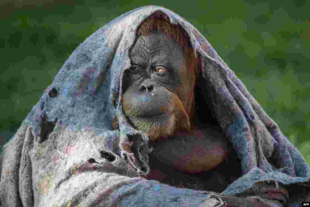 An orangutan covers itself with a blanket on a chilly winter day at Rio de Janeiro Zoo in Brazil. (AFP/Yasuyoshi Chiba)