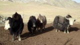 Yak Breeders Life in Aksay Valley Kyrgyzstan October 2015