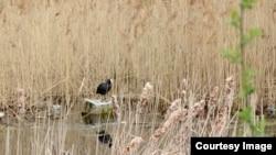 Харовое күлендә кыргый кошлар яши