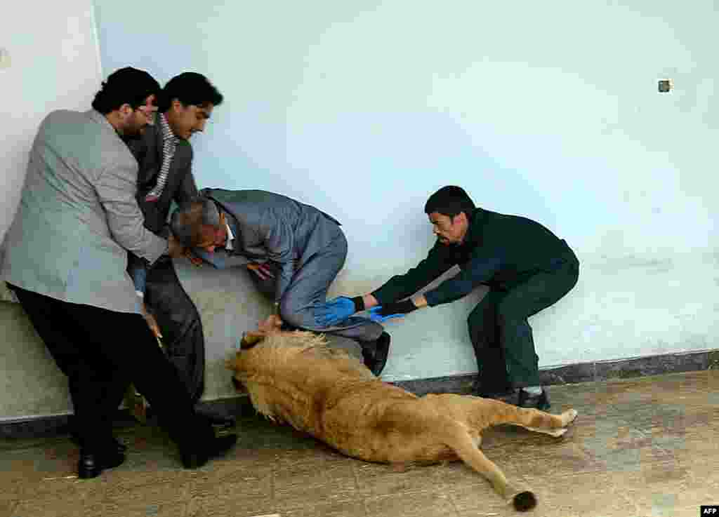 Afghan zookeeper Qurban Ali (right) attempts to intervene as Marjan, a lion (center), plays at his cage in Kabul's zoo. (AFP/Shah Marai)