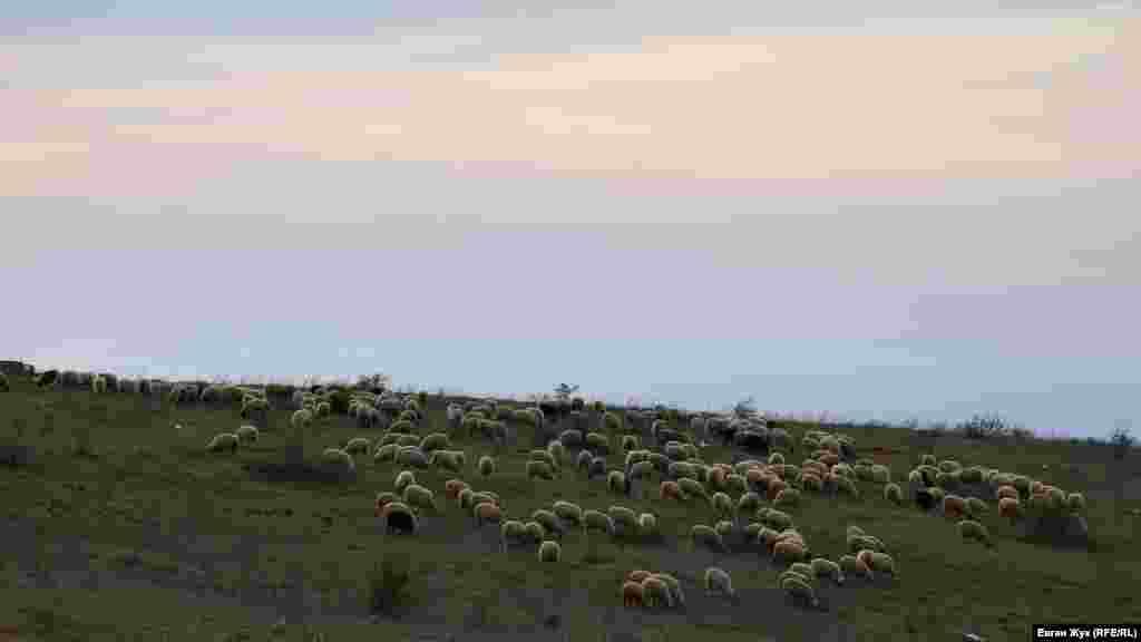 Отара овець ввечері повертається додому