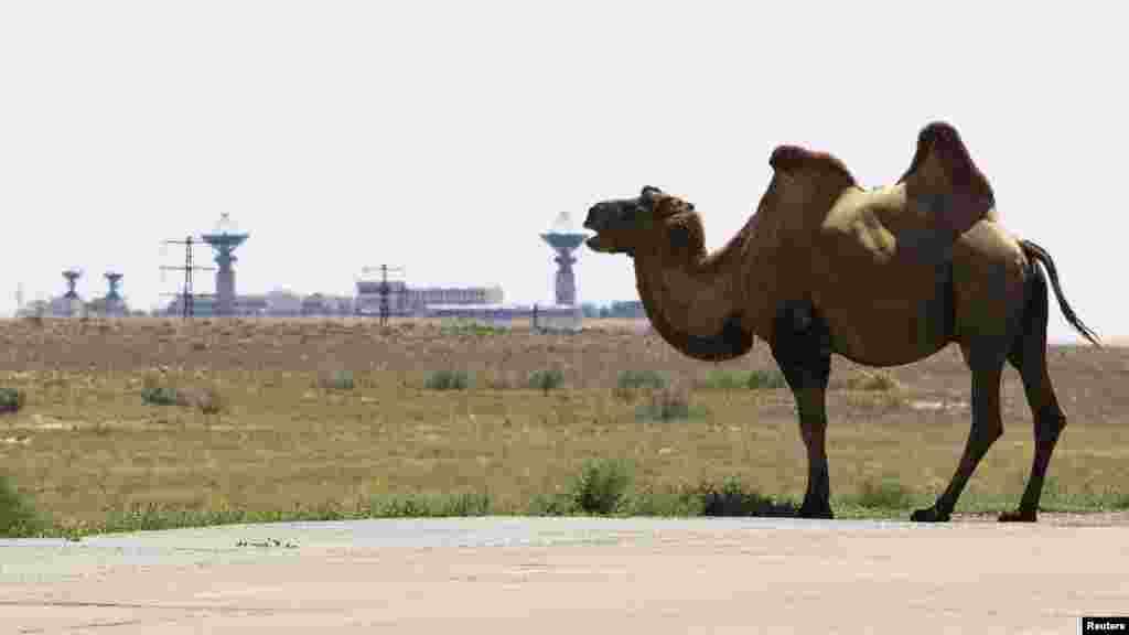 A camel grazes in front of antennas used for space communication at the Baikonur Cosmodrome in July 2012.
