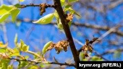 Суцвіття абрикоса, пошкоджене грибком