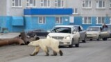 A stray polar bear is seen crossing the road in the Russian industrial city of Norilsk on June 17. (Reuters/Irina Yarinskaya/Zapolyarnaya Pravda)