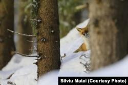 Vulpe în Munții Bistriței, România.