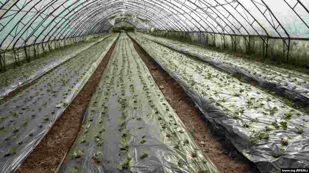 Село Зеленогірське. Теплична полуниця на краплинному зрошенні дасть урожай вже наступної весни