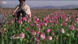 Урожай мака в Кандагаре