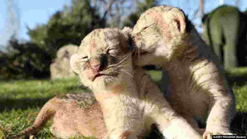 Семиденні левенята гріються на сонечку у парку левів «Тайган»