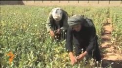 Әфганстанда әфьюн җитештерү күрелмәгән дәрәҗәдә арткан