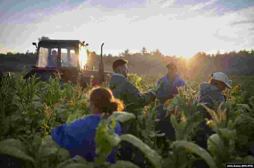 Workers harvest tobacco at the Fejerto Cooperative in Ofeherto, Hungary. (epa-EFE/Attila Balazs)