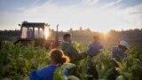 Radnici na plantaži duhana u Ofeheru, Mađarska, septembar 2020.