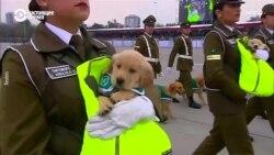 Щенки лабрадоров участвуют в военном параде в Чили (видео)